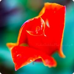 Newborn / Neonato (bogob.photography) Tags: trip red italy flower macro castle primavera yellow closeup garden square lens 50mm drops spring nikon colorful italia dof bokeh explore piemonte giallo squareformat newborn tulip processing depechemode nikkor f18 18 gita fiore rosso rugiada castello piedmont flowerpower giardino quadrato tulipano gocce onexplore sfuocato afd neonato lenti profondit explored d80 pralormo appenanato nikond80 primaverile nikkor50mmf18afd rinato