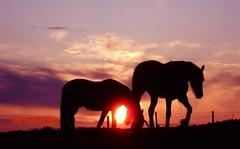 evening impression ... (The Family Dog) Tags: horses horse caballo cheval zonsondergang fries ameland pferde pferd equine paard paarden galope equines friese friesche pferden friesische