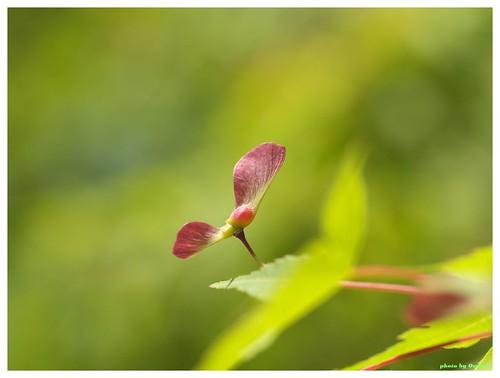 Maple Seed #01
