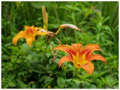 Daylily - ดอกไม้จีน