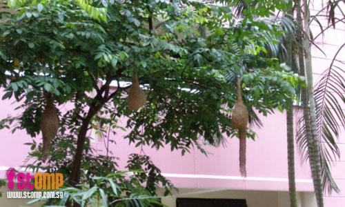 Rare sight of weaver bird nests in Bt Batok, which last for only 3 months