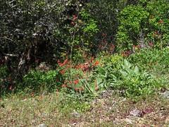 Delphinium nudicaule (xerantheum) Tags: park flowers red plants mt state diablo delphinium ranunculaceae larkspur nudicaule geophytes