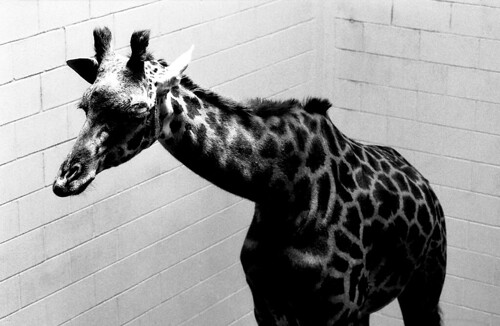Giraffe. (Fuji Neopan 400. Nikon F100. Epson V500.)