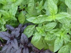 gardening basil
