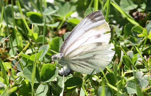 White Butterfly Laying Eggs