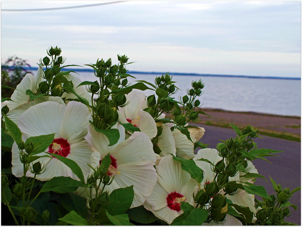 White Beach Flowers by the Connecticut Shore