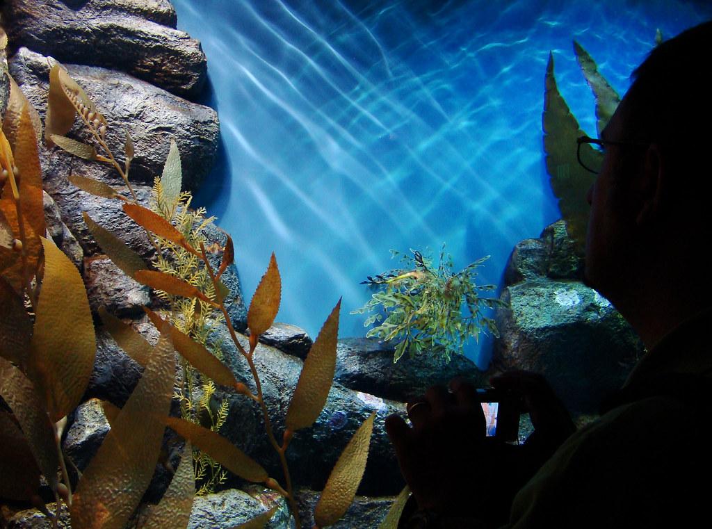 DSC01889 Leafy sea dragon
