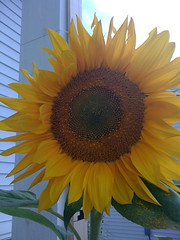 Ah, beautiful sunflower!