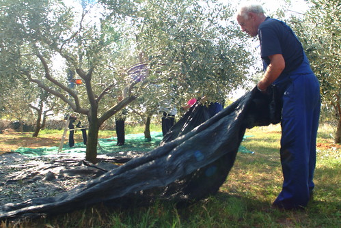 The olives fall in the net