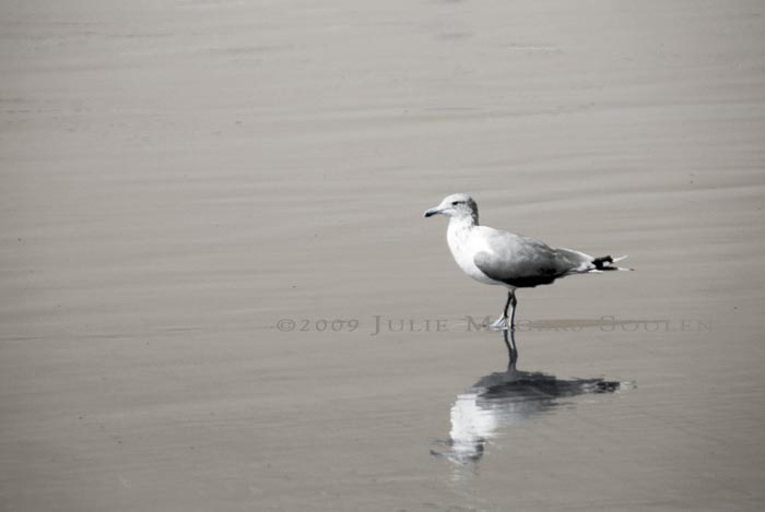 A solitary seagull walks along a wild beach in Olympic National Park casting a shimmering reflection on the wet sand