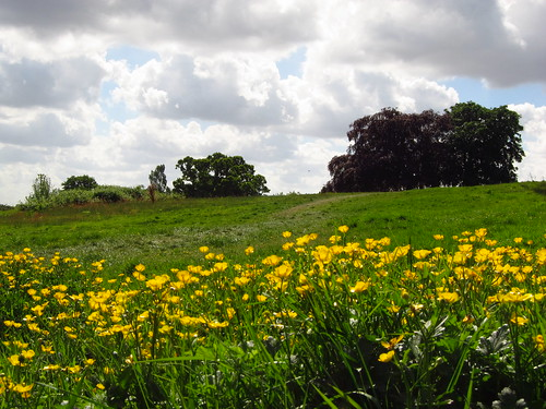 Buttercups on Hampstead Heath