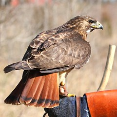 Red Tailed Hawk (DrPhotoMoto) Tags: searchthebest redtailedhawk captiveanimal avianexcellence 37moto