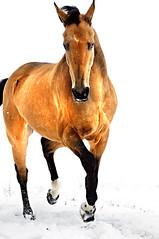 winter is golden (Dan65) Tags: winter horse snow ice gold golden explore 67 buckskin dun teke akhal akhalteke equineenthusiastsgroup