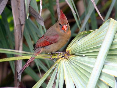 Female Cardinal 20090225