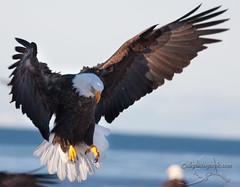 Homer Eagles-0404 (akphotograph.com) Tags: alaska 2009 akphotographcom micarttttworldphotographyawards micartttt perfectactionshot