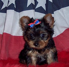 Twilight (fiestabiewers) Tags: yorkie diamond yorkies biewer biewers teacupyorkies tinyyorkies bieweryorkies teacupbiewers chocolateyorkies partiyorkies partieyorkies