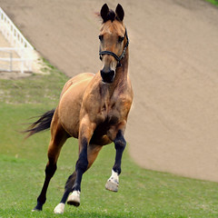 golden elation (Dan65) Tags: horse speed gold golden head 7 run explore canter gallop buckskin dun teke akhal akhalteke gazan hawaalrayyanfav
