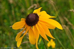 Black-Eyed Susan (SewerDoc (200 Explores)) Tags: wild plant flower macro nature floral yellow closeup photography searchthebest passion ravine wildflower soe blackeyedsusan fantasticflower betterthangood theperfectphotographer sewerdoc simplythebest~flowers jaredfein thenewselectbest