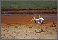 pairofstorks (Hari L Ratan) Tags: aplusphoto worldclassnaturephotos flickrenvythebesttm