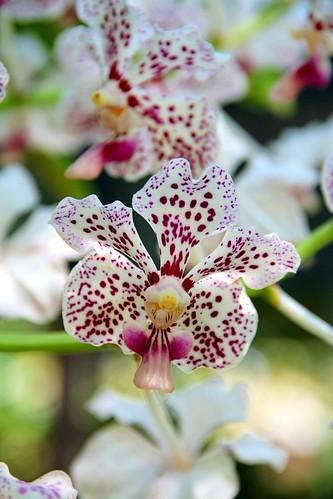 Natureza Flores Orquídeas rosa Vande