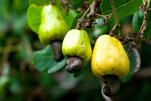 Cashew fruits, Ko Yao Noi, Thailand