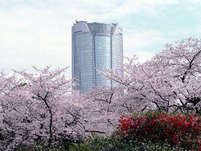 Сакура у небоскреба