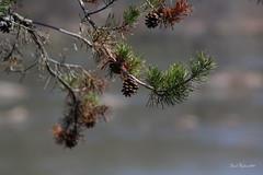 Pine Tree (David Hopkins Photography) Tags: tree pinetree nc northcarolina pinecone needles laketillery stanlycounty morrowmountainstatepark davidhopkinsphotography ncpedia