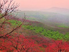 Peach Flowers Blossome -  (CharlieBrown8989) Tags: china pink flowers trees red white green misty fog closeup canon yahoo interestingness bravo flickr zoom herbs branches best explore environment tele charliebrown8989 peachtree sustainability corel guanxi  peachflowers paintshopproxi  picasa3 qweelin  melaniezhu