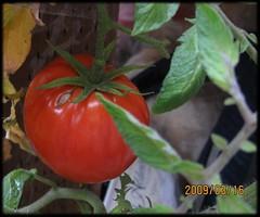 march_tomato