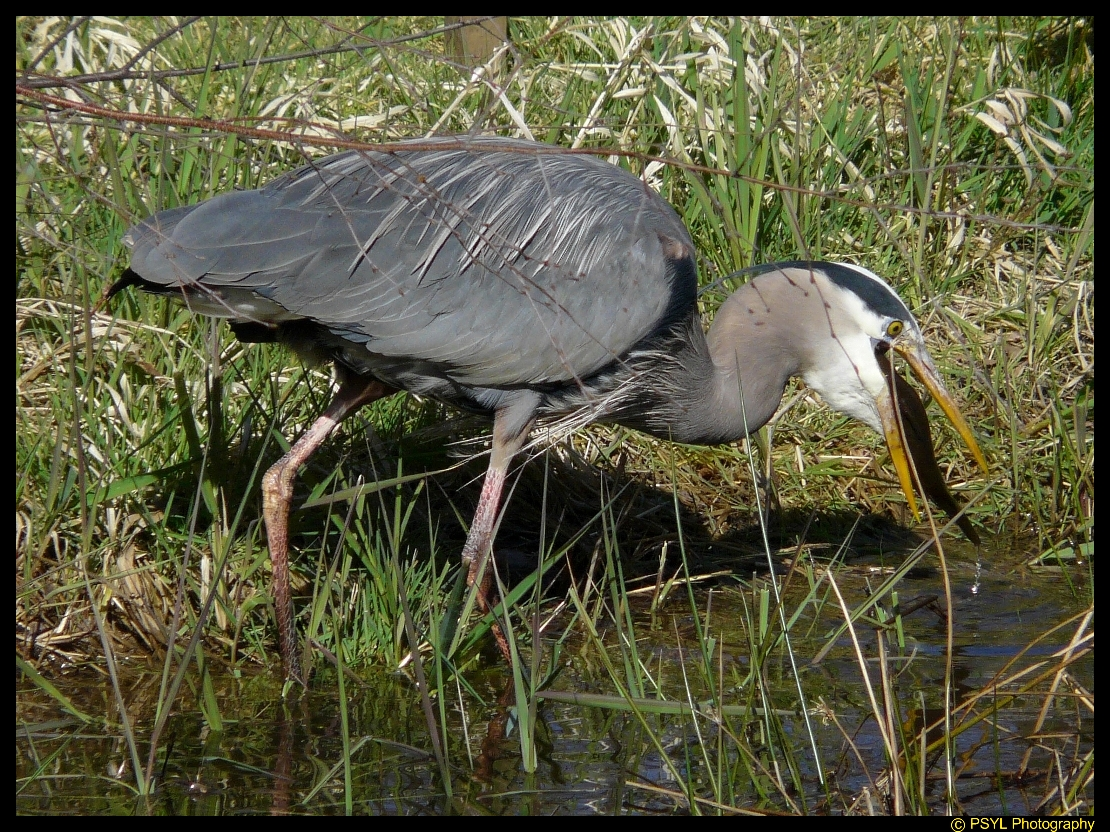 Great Blue Heron (Ardea herodias) swallowing fish