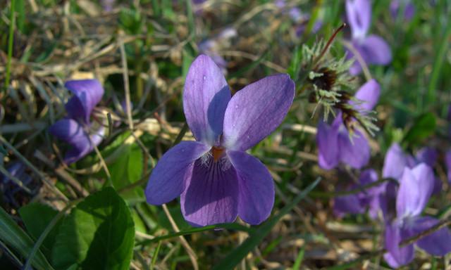 Photo: Viola odorata 'Konigin Charlotte'