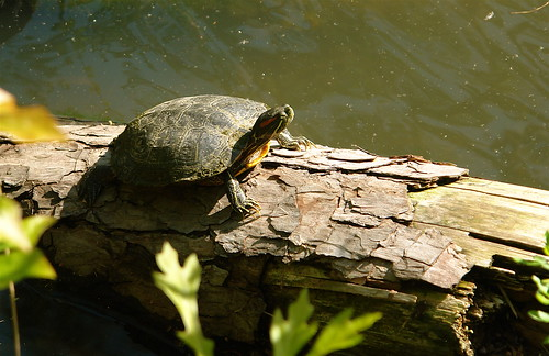 Red Eared Slider