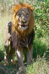 Lion at Kruger (Arno Meintjes Wildlife) Tags: africa park wallpaper nature animal southafrica mammal bush wildlife lion safari bigcat mammals rsa krugernationalpark carnivore big5 pantheraleo parkstock genuspanthera arnomeintjes