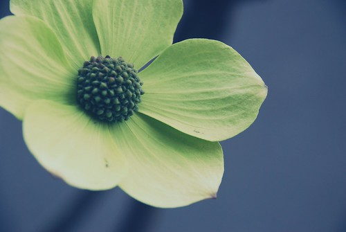 dogwood up close II