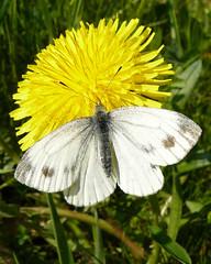 weissling auf löwenzahn (lockenkopf) Tags: butterfly explorer april auesee schmetterling löwenzahn weissling