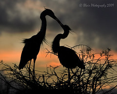 Sunset Kiss (Blair Photography) Tags: silhouette wetlands wako soe waterbirds floridawildlife naturesfinest wakodahatchee greatblueherons floridabirds avianexcellence colourartaward saariysqualitypictures blairphotography