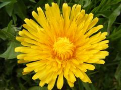 Lwenzahn (runningvomper) Tags: flower blume lwenzahn