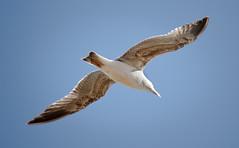 Acariciando la brisa (Javier_Santos) Tags: sky bird beach gull sony playa ave cielo alpha gaviota a700 javiersantos