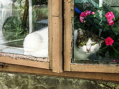 muca (RenatoD) Tags: flower window animal cat tiere fenster kitty katze abigfave flickrunitedaward