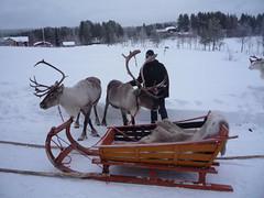 Reindeers (Helran) Tags: finland reindeer korvala lappland rennes