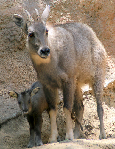 photos of animal chinese goral deer youtube