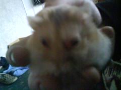 FUZZY+ DARK (ikieran97) Tags: toby hamsters