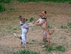 Let's Dance (Boered) Tags: rescue dog dogs boys foster pokey kermit sorryabouttheuglybackgroundwereallyneedtoplantsomegrassinthiscorneroftheproperty thanksagainbenforhelpingtopayforkermitstreatment