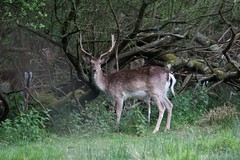Stag at Bolderwood, New Forest National Park (Chalkie_CC) Tags: england nature animals forest woodland stag wildlife hampshire deer fallowdeer soe newforest digitalcameraclub flickrsbest newforestnationalpark canon40d naturewatcher sigma120400oshsm chalkie2009