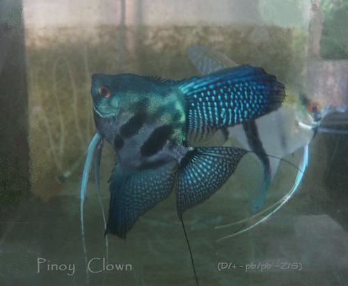 Flickriver Pinoy Angelfish Kenneth S Kennedy S Most