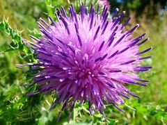 distel (Tuesd@y) Tags: pink flower macro green rose groen purple sony dsc distel paars h7 dsch7