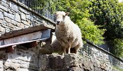 Sheep. (martin289) Tags: animal wales sheep baa