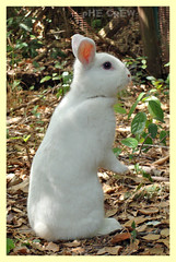 Oryctolagus cuniculus (PheCrew) Tags: rabbit photoshop bianco coniglio oryctolaguscuniculus soken phecrew