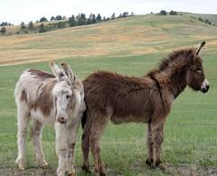 Baby Mules 2
