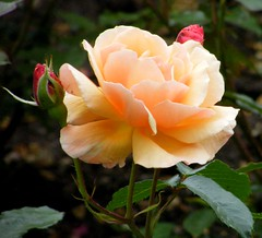 Rosa 'The Cheshire Regiment' (Fryzebedee) (I love beachhuts) Tags: flowers roses summer plants plant flower rose flora perfume salmon rosa apricot shrub shrubs scent perennial rhswisley scented rosaceae fragranced